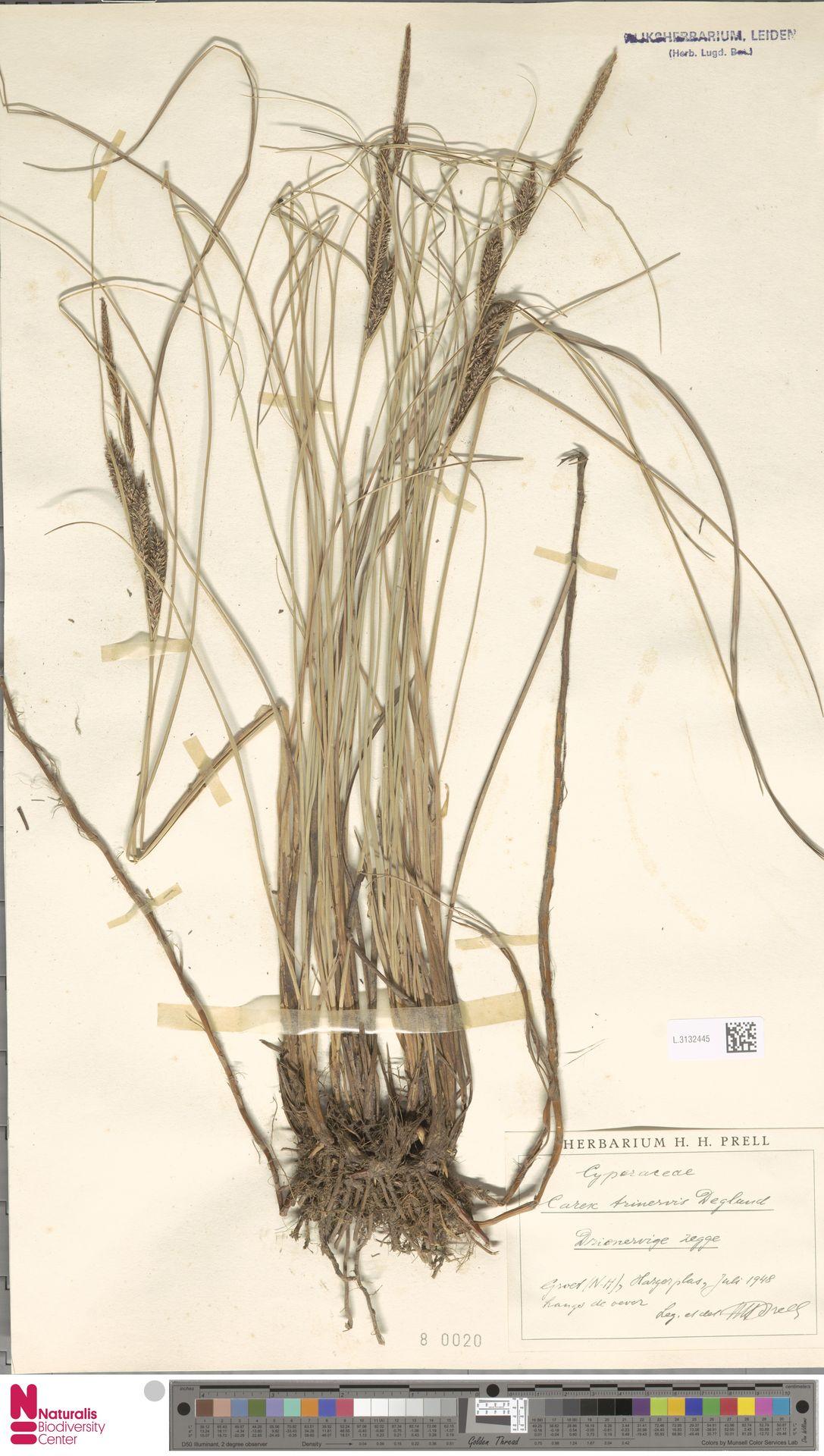 L.3132445 | Carex trinervis Degl.