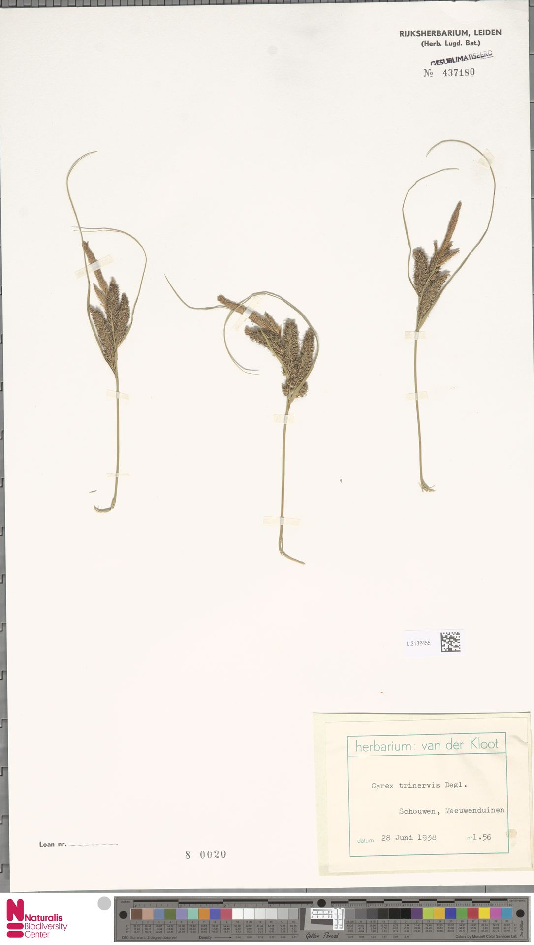 L.3132455 | Carex trinervis Degl.