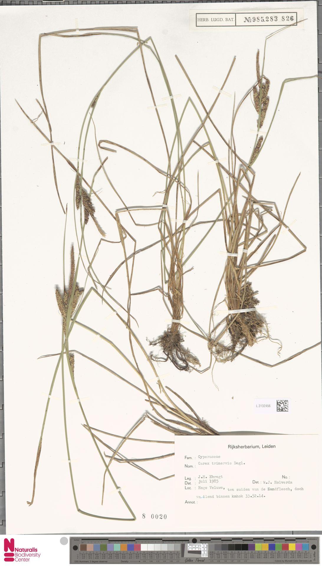 L.3132456 | Carex trinervis Degl.