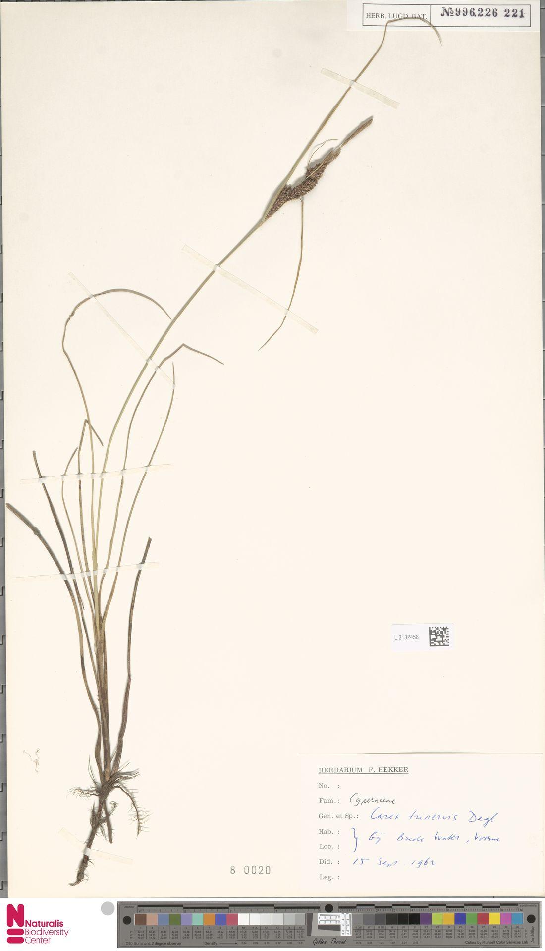 L.3132458   Carex trinervis Degl.