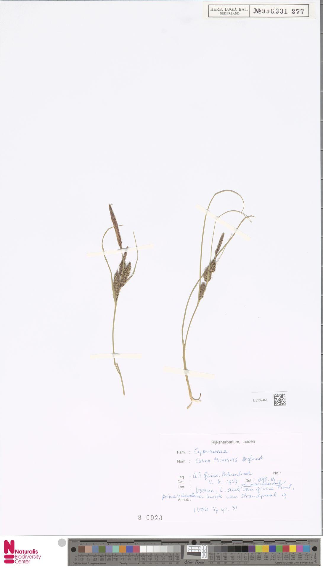 L.3132461 | Carex trinervis Degl.