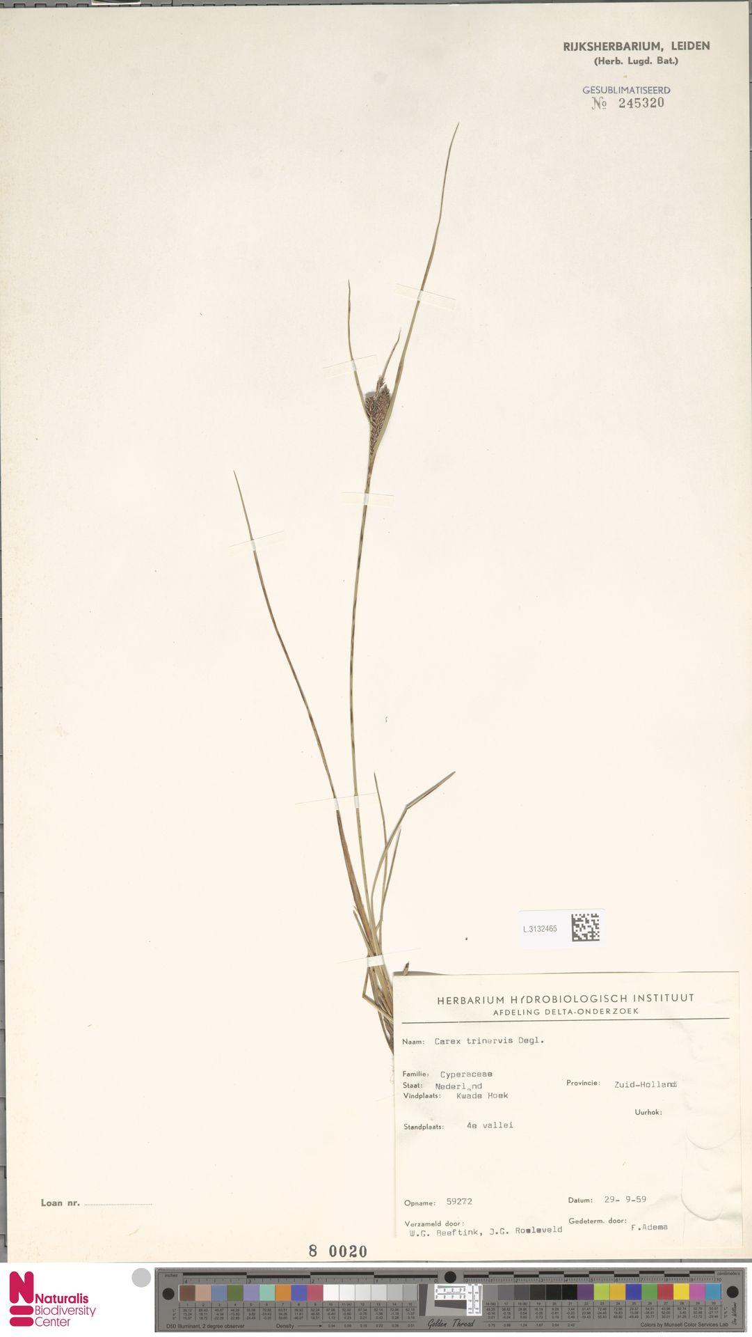 L.3132465 | Carex trinervis Degl.