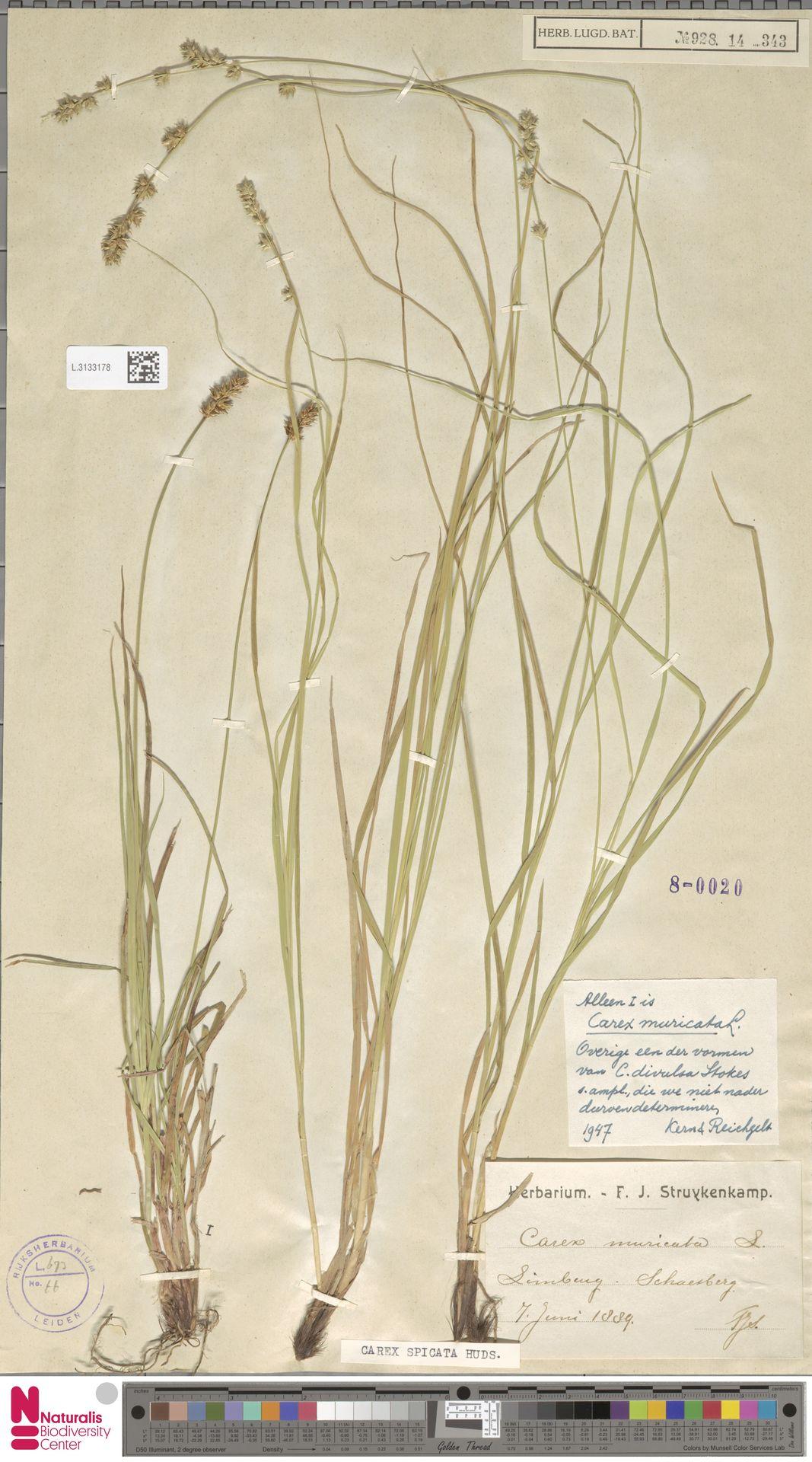 L.3133178 | Carex divulsa Stokes
