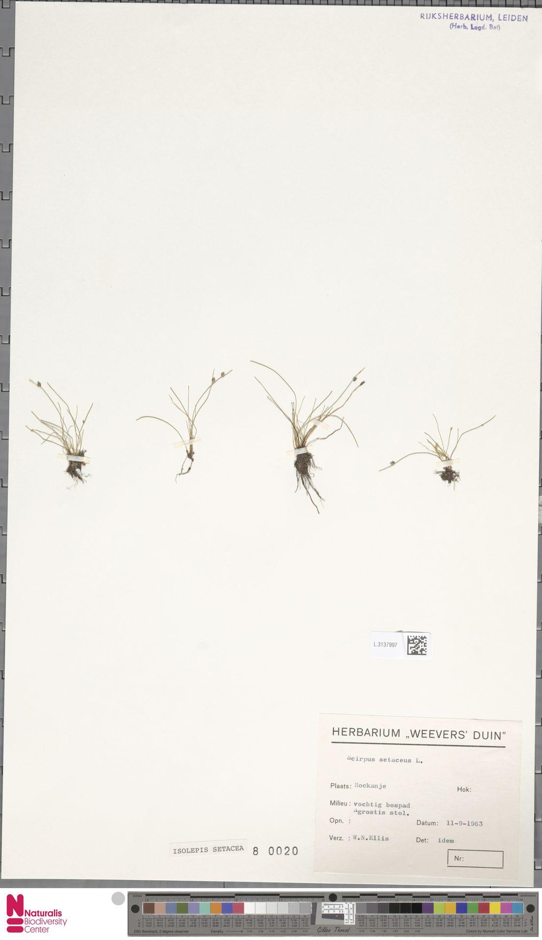 L.3137997 | Isolepis setacea (L.) R.Br.