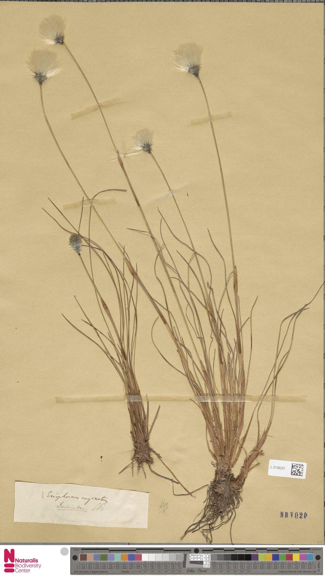L.3138237 | Eriophorum vaginatum L.
