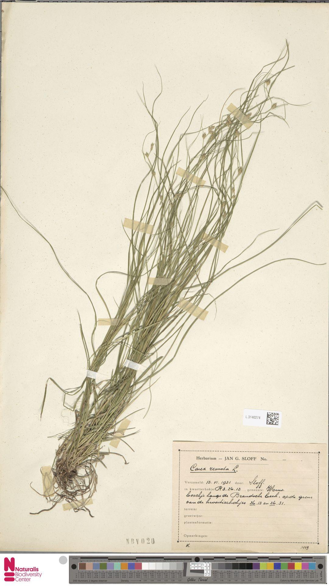 L.3140274 | Carex remota L.