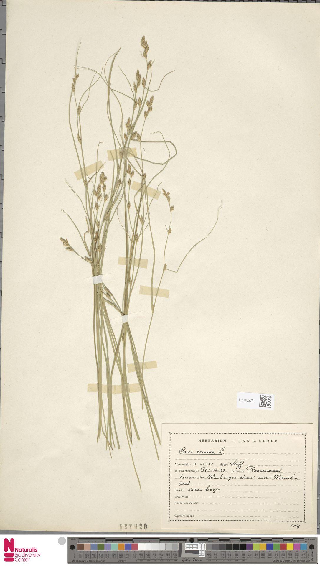 L.3140275 | Carex remota L.