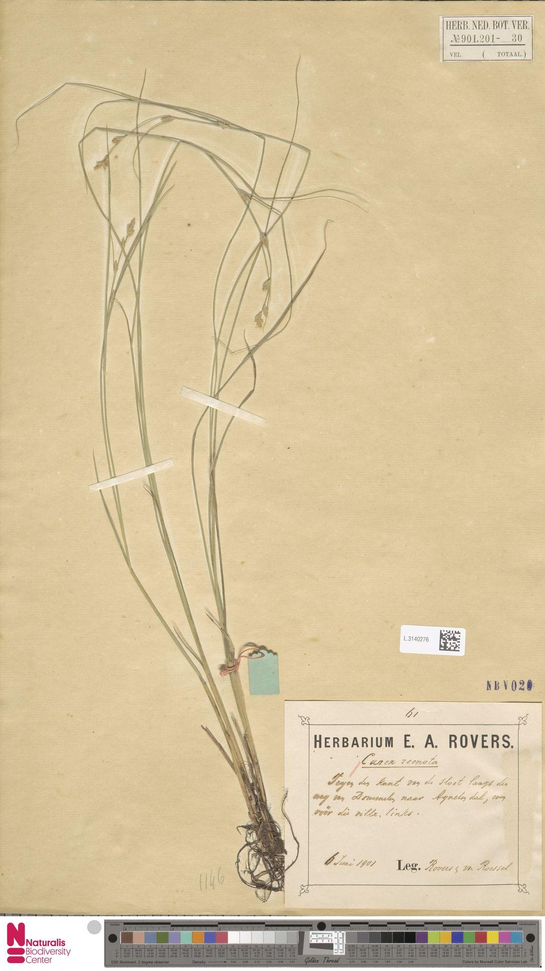L.3140276 | Carex remota L.