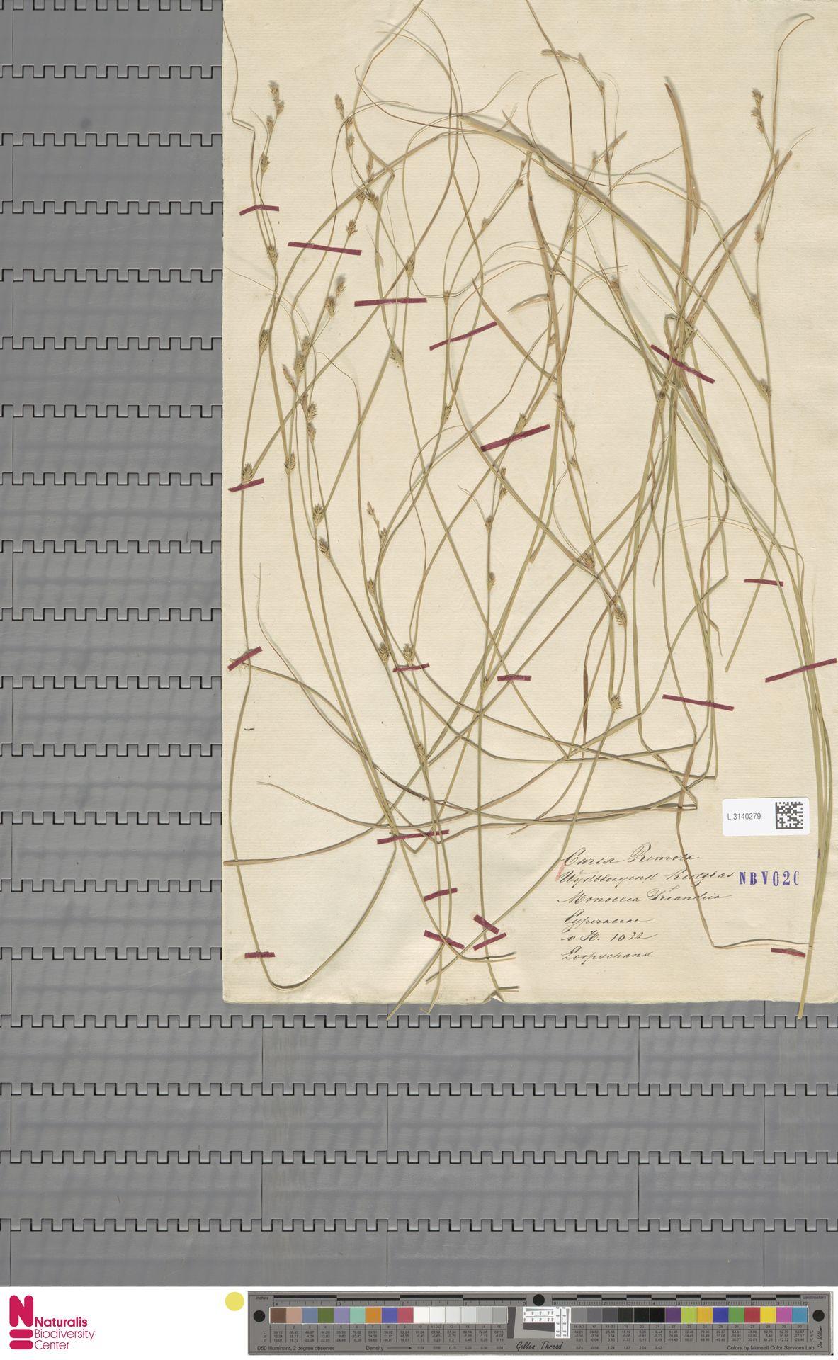 L.3140279 | Carex remota L.