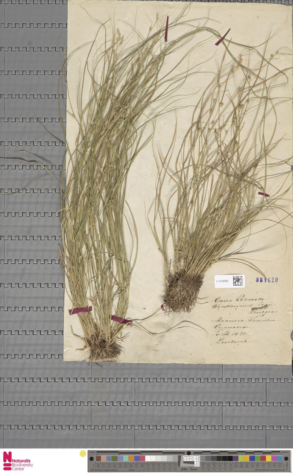L.3140280 | Carex remota L.