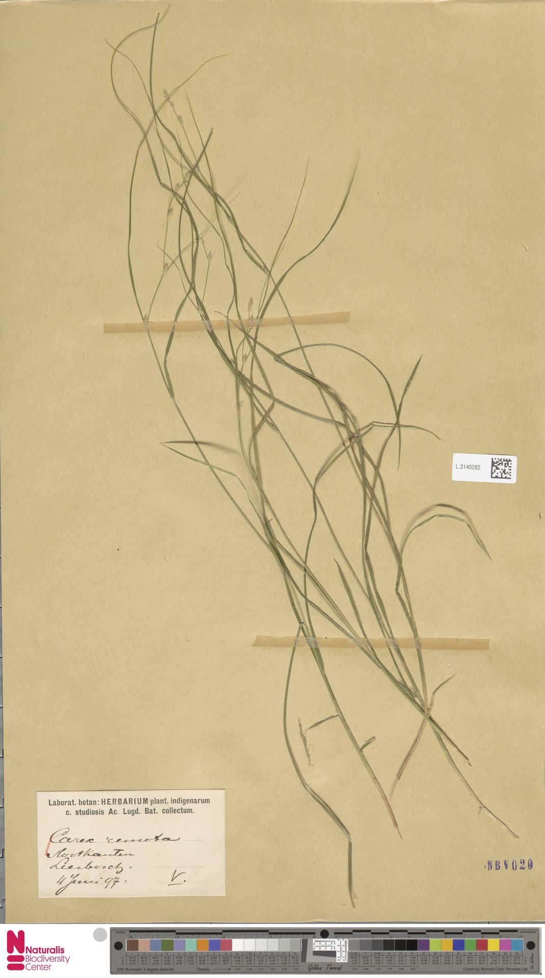 L.3140282 | Carex remota L.