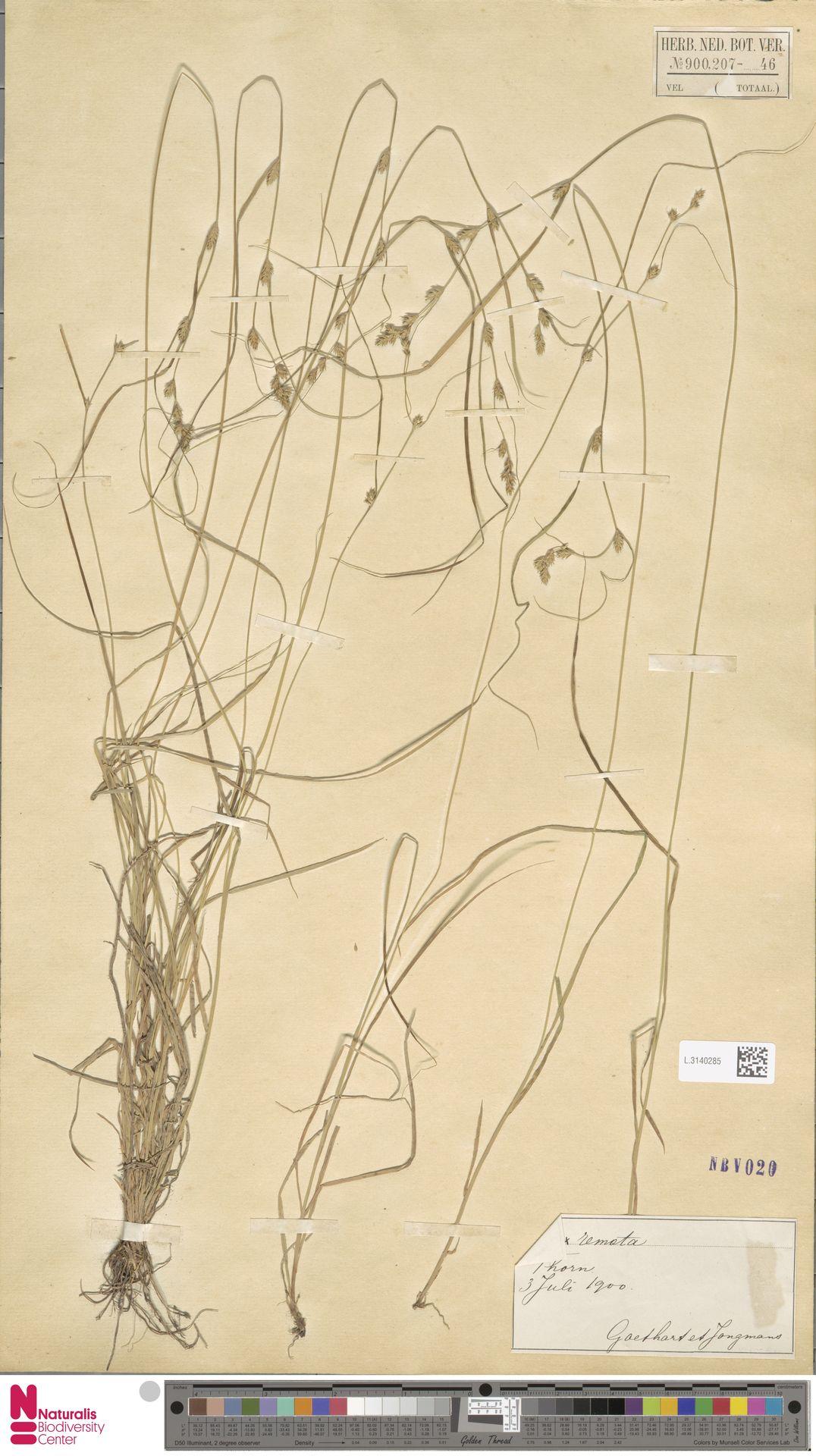 L.3140285 | Carex remota L.