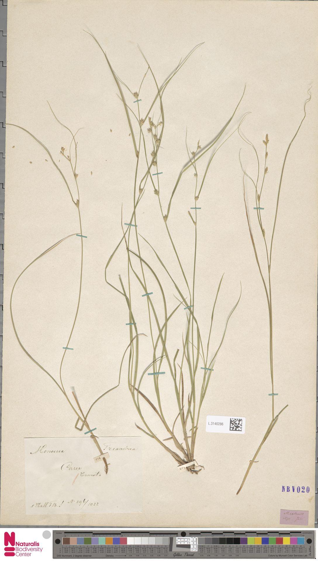 L.3140286   Carex remota L.