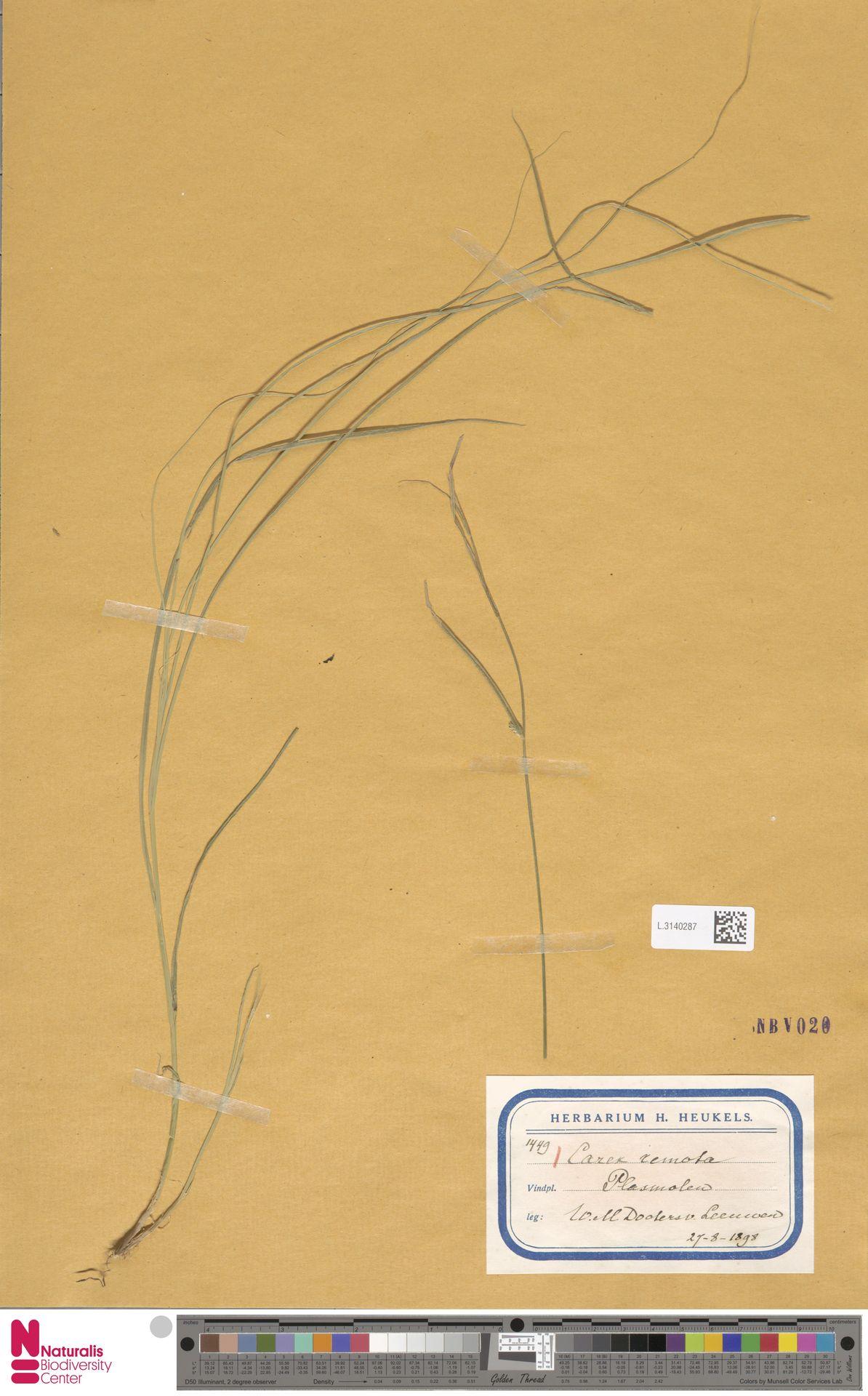 L.3140287 | Carex remota L.