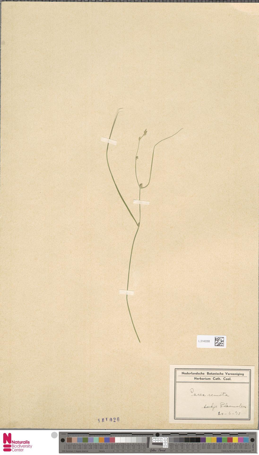 L.3140288 | Carex remota L.