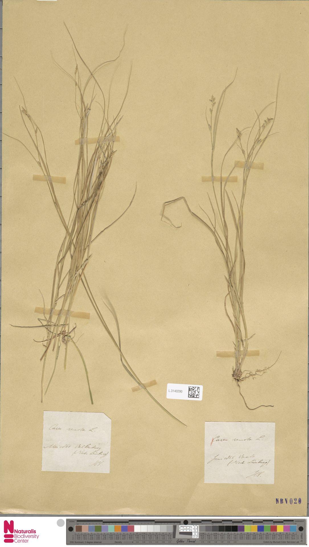 L.3140290 | Carex remota L.