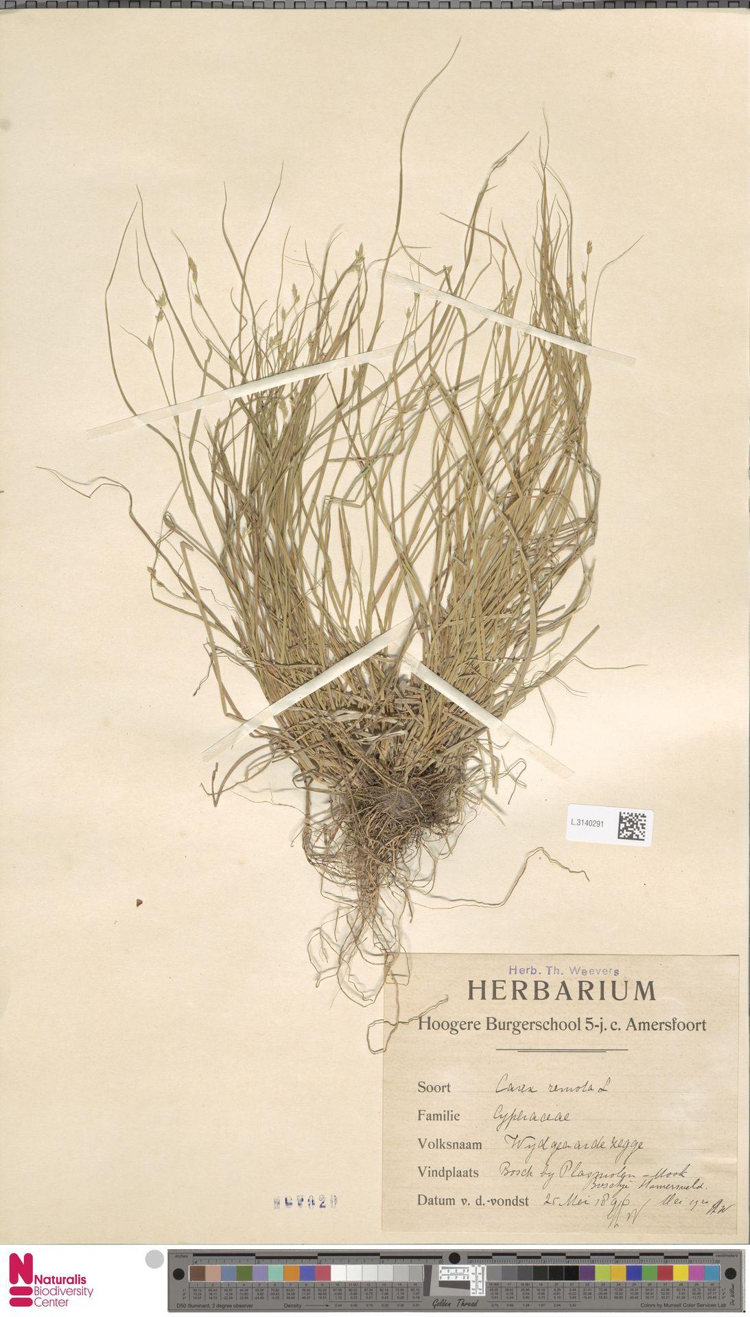 L.3140291 | Carex remota L.