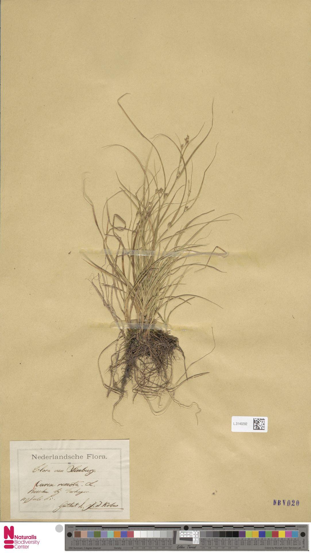 L.3140292 | Carex remota L.