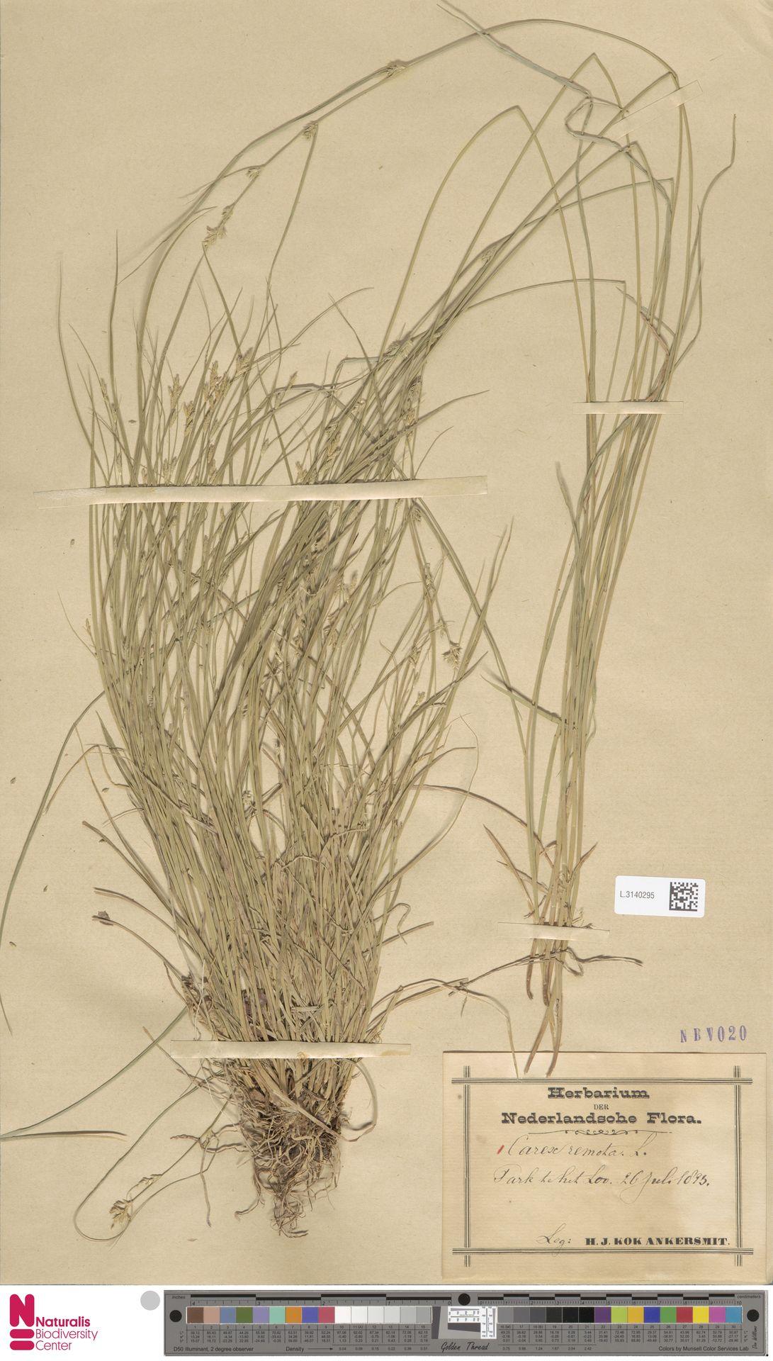 L.3140295 | Carex remota L.
