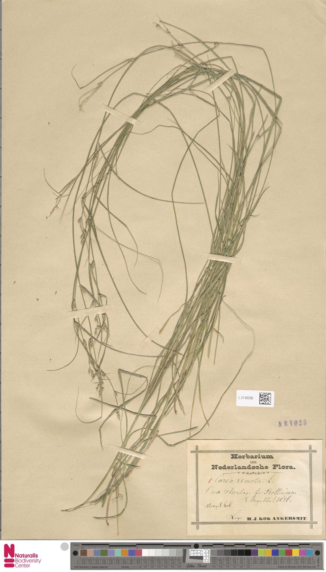 L.3140296 | Carex remota L.