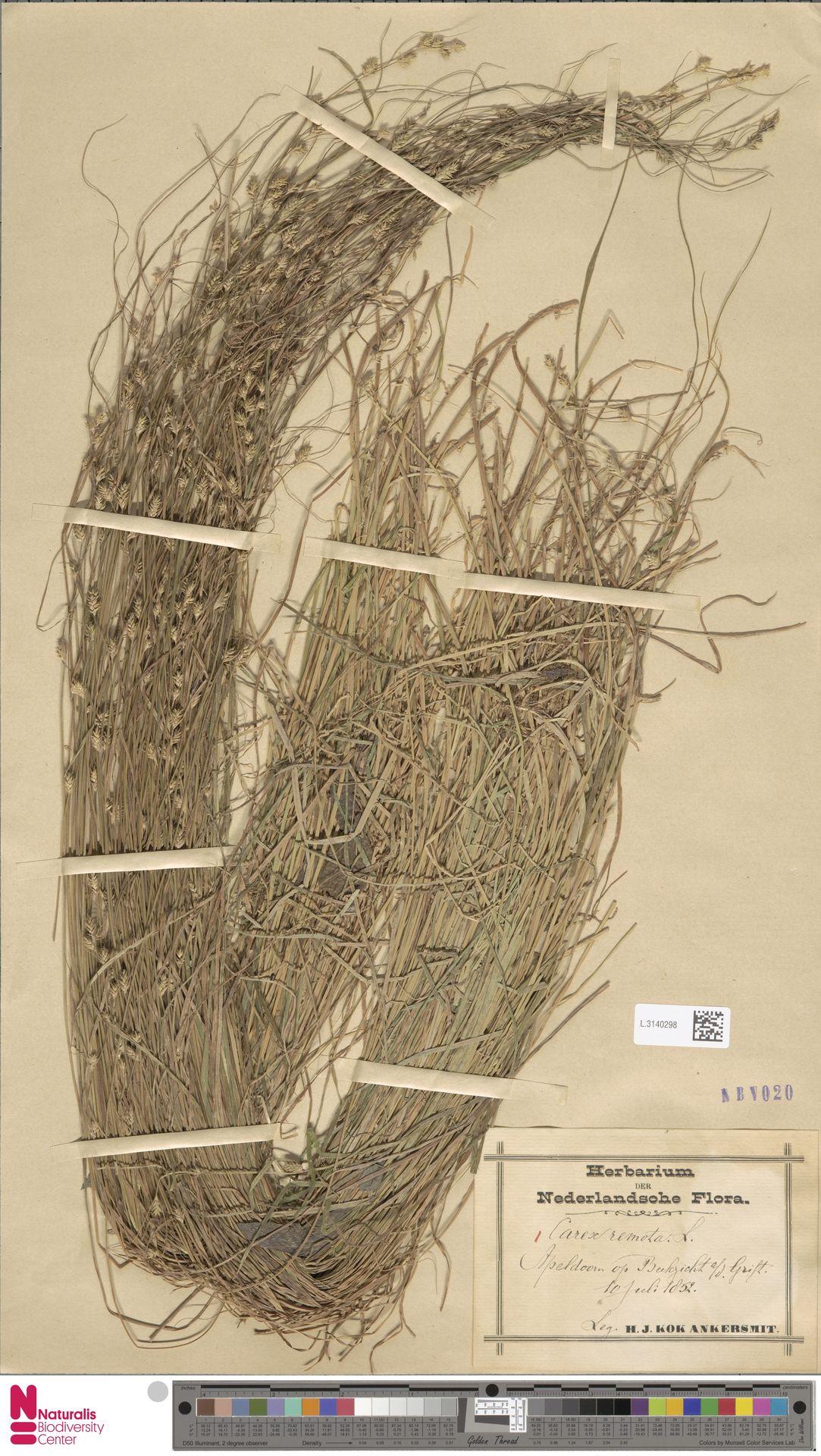 L.3140298 | Carex remota L.