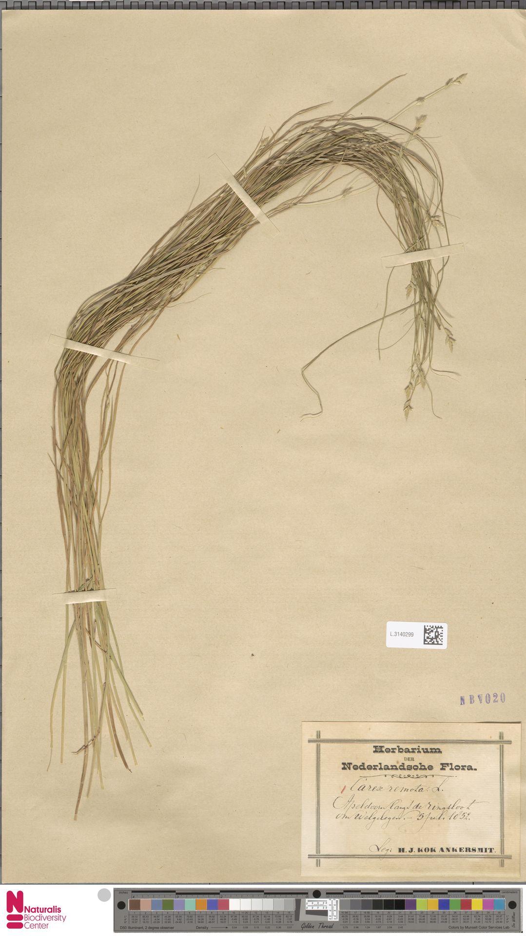 L.3140299 | Carex remota L.