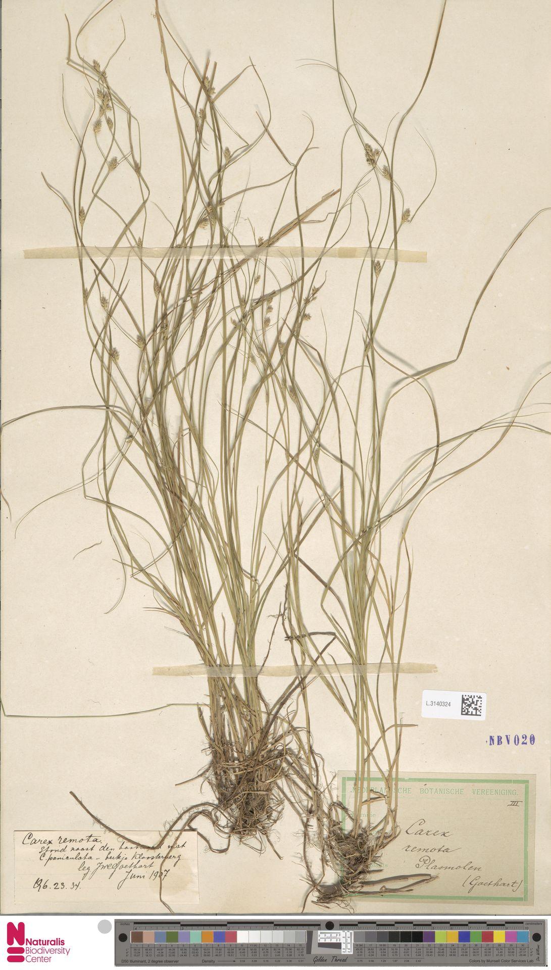 L.3140324 | Carex remota L.