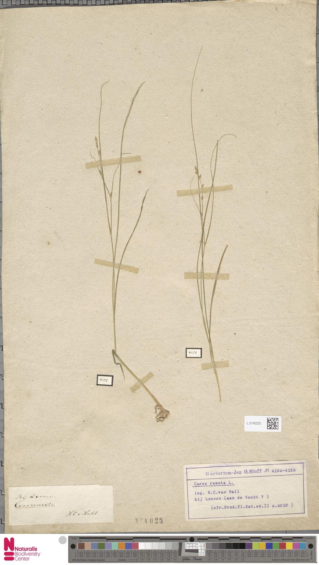 L.3140325 | Carex remota L.
