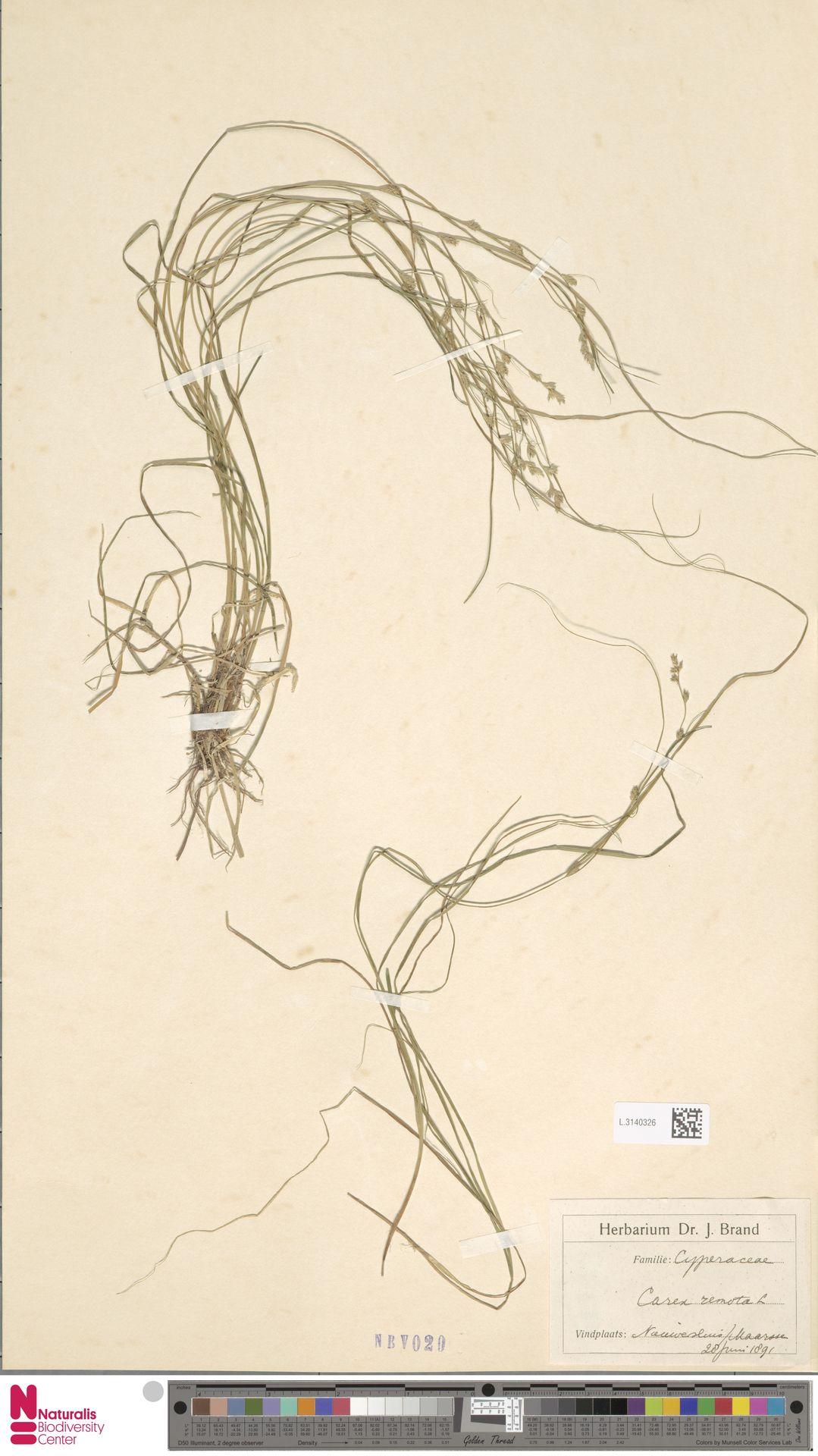 L.3140326 | Carex remota L.