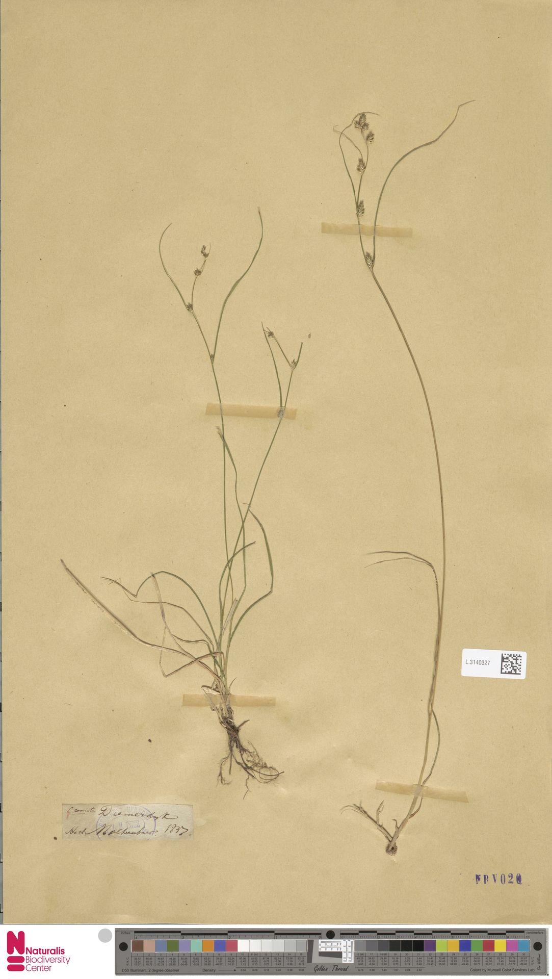 L.3140327 | Carex remota L.