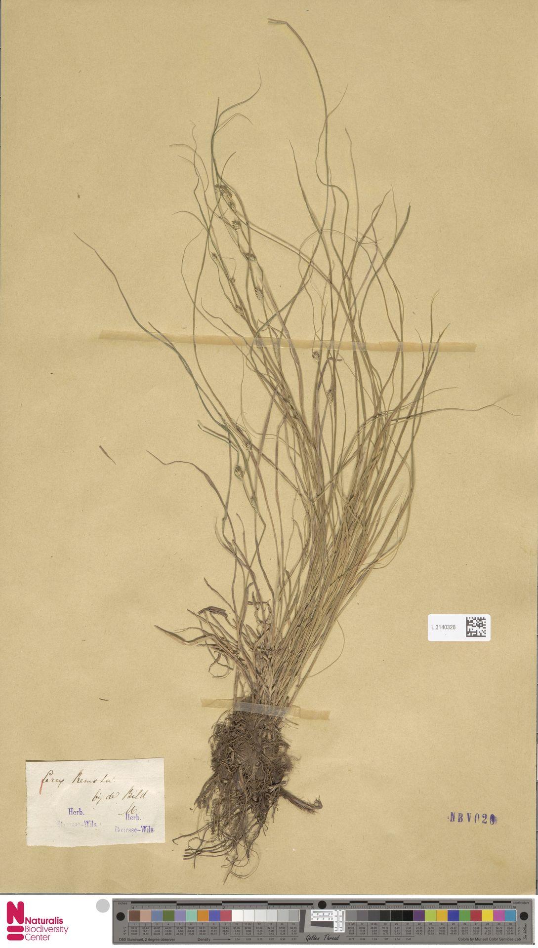 L.3140328 | Carex remota L.