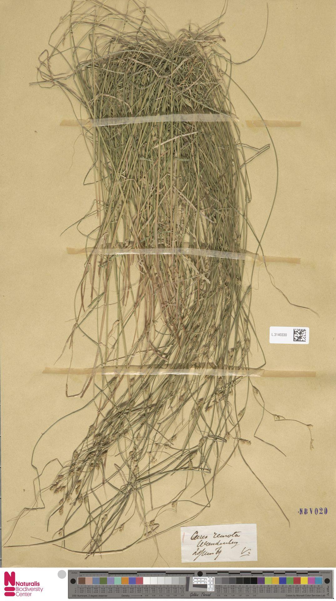 L.3140330 | Carex remota L.