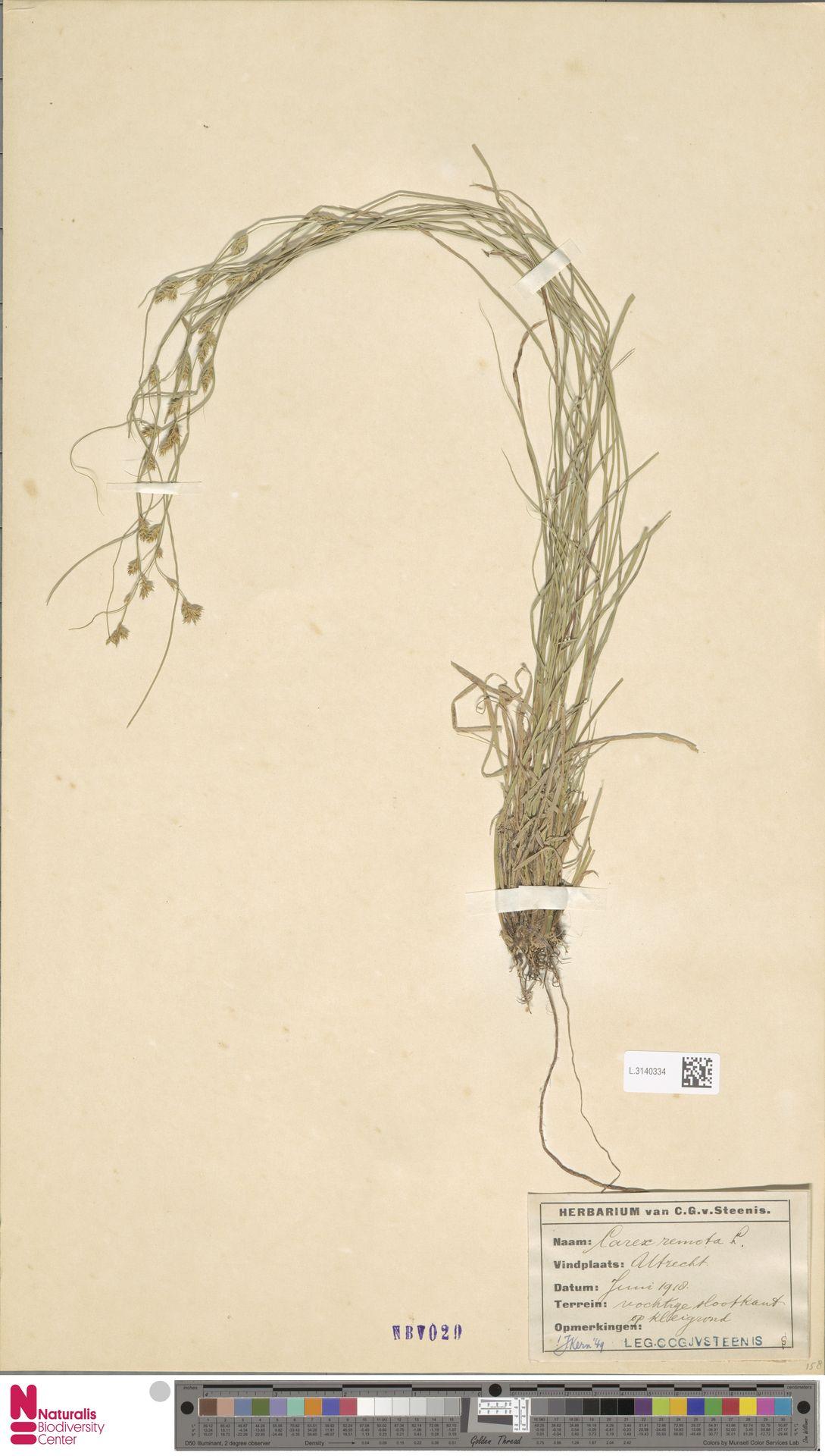 L.3140334 | Carex remota L.