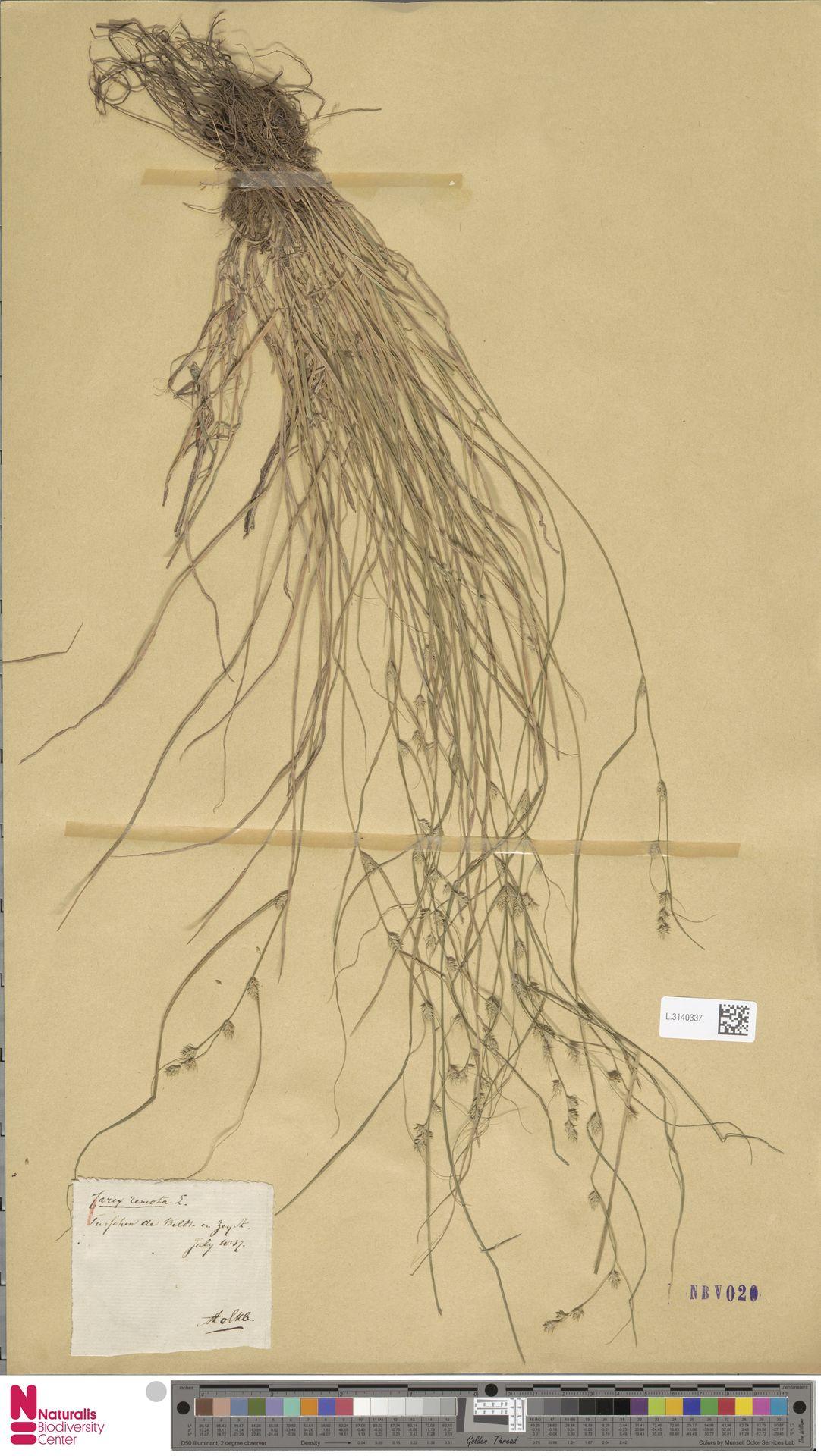 L.3140337 | Carex remota L.