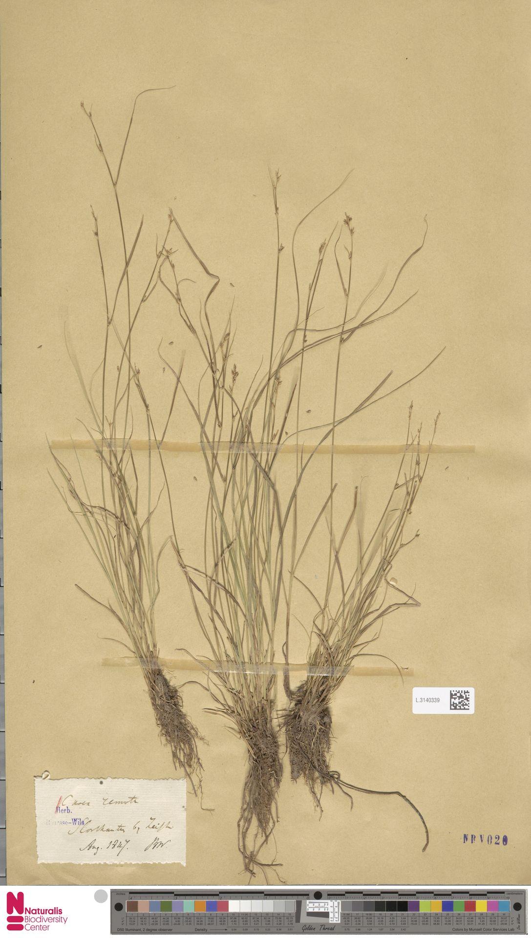 L.3140339 | Carex remota L.