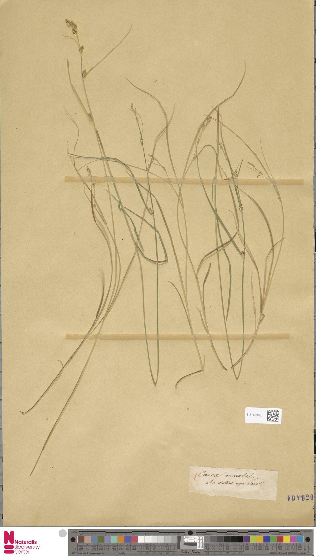 L.3140340 | Carex remota L.