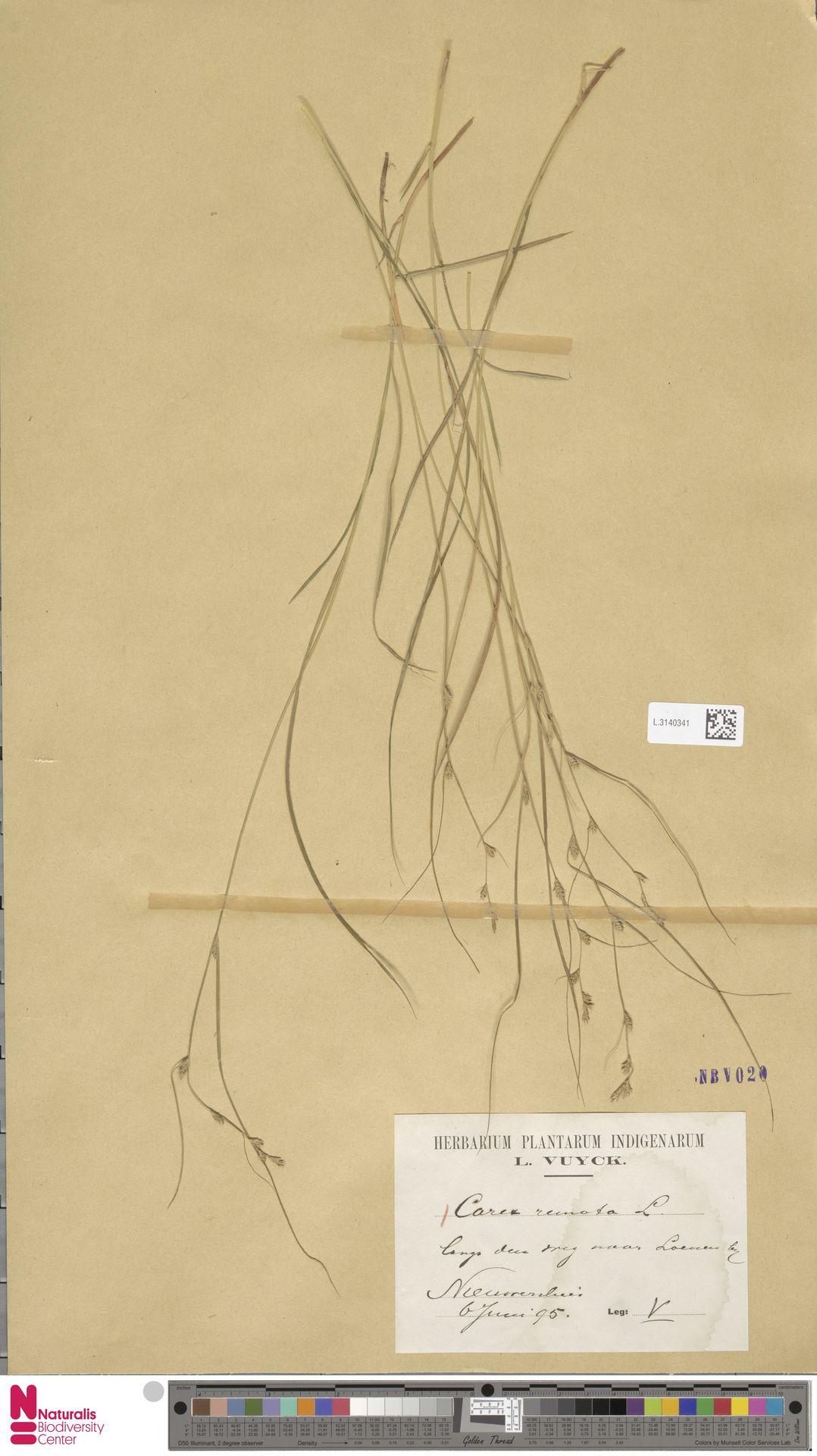 L.3140341 | Carex remota L.