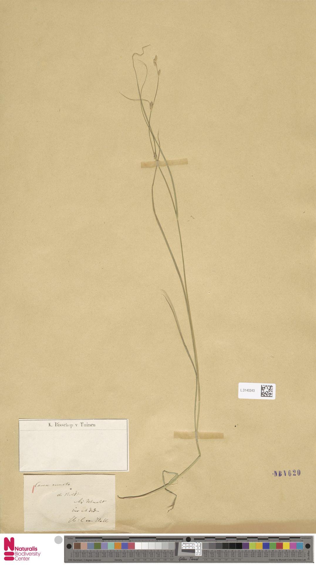 L.3140343 | Carex remota L.