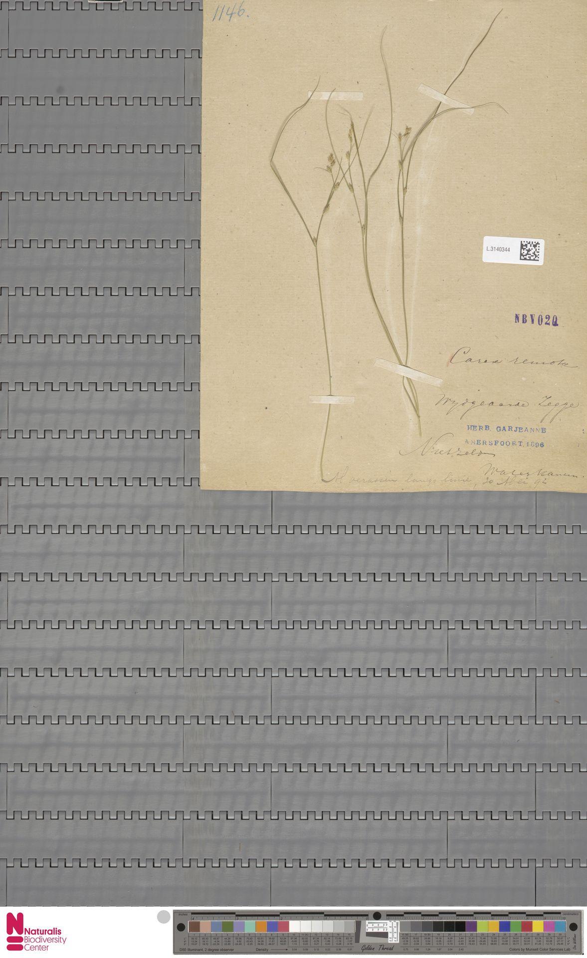L.3140344 | Carex remota L.