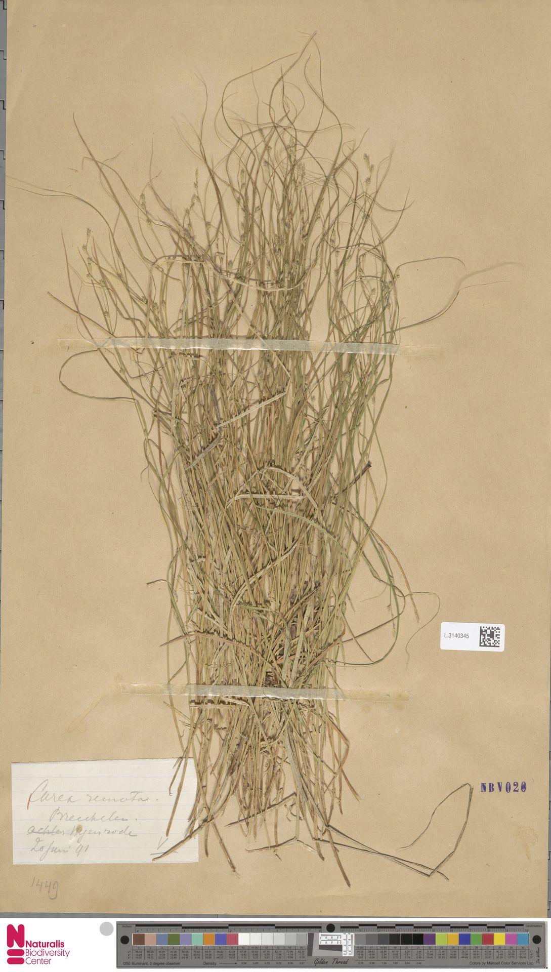 L.3140345 | Carex remota L.