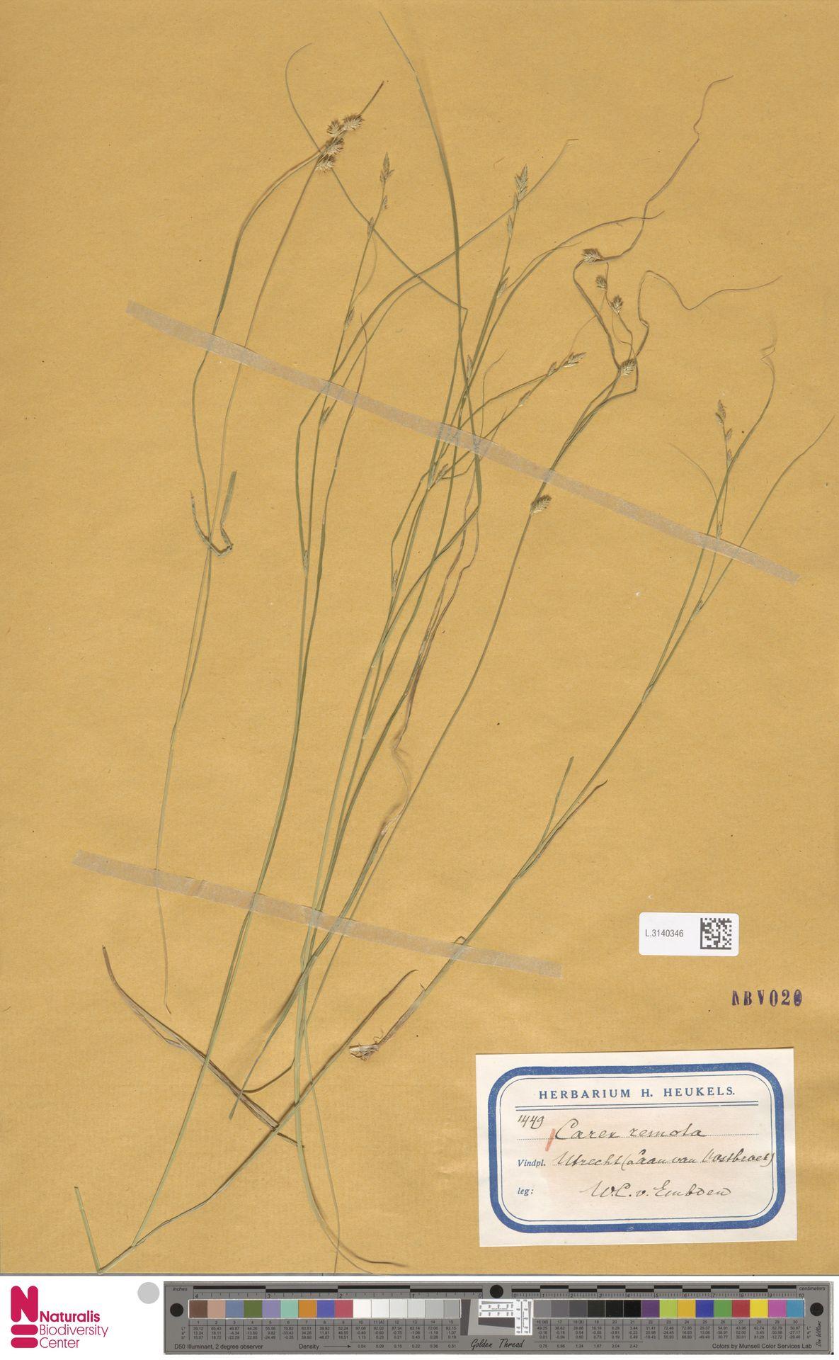 L.3140346 | Carex remota L.