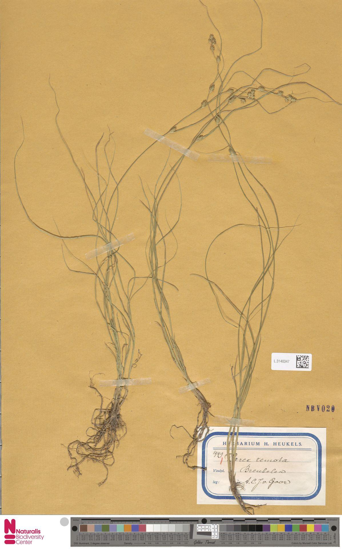 L.3140347 | Carex remota L.