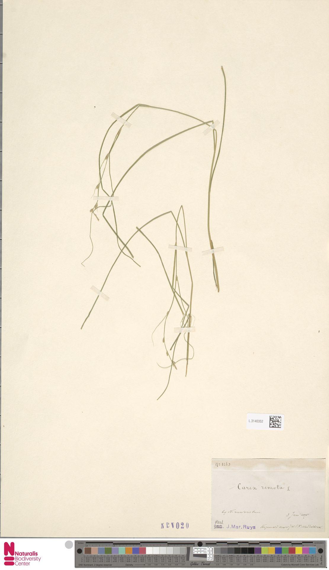 L.3140352 | Carex remota L.