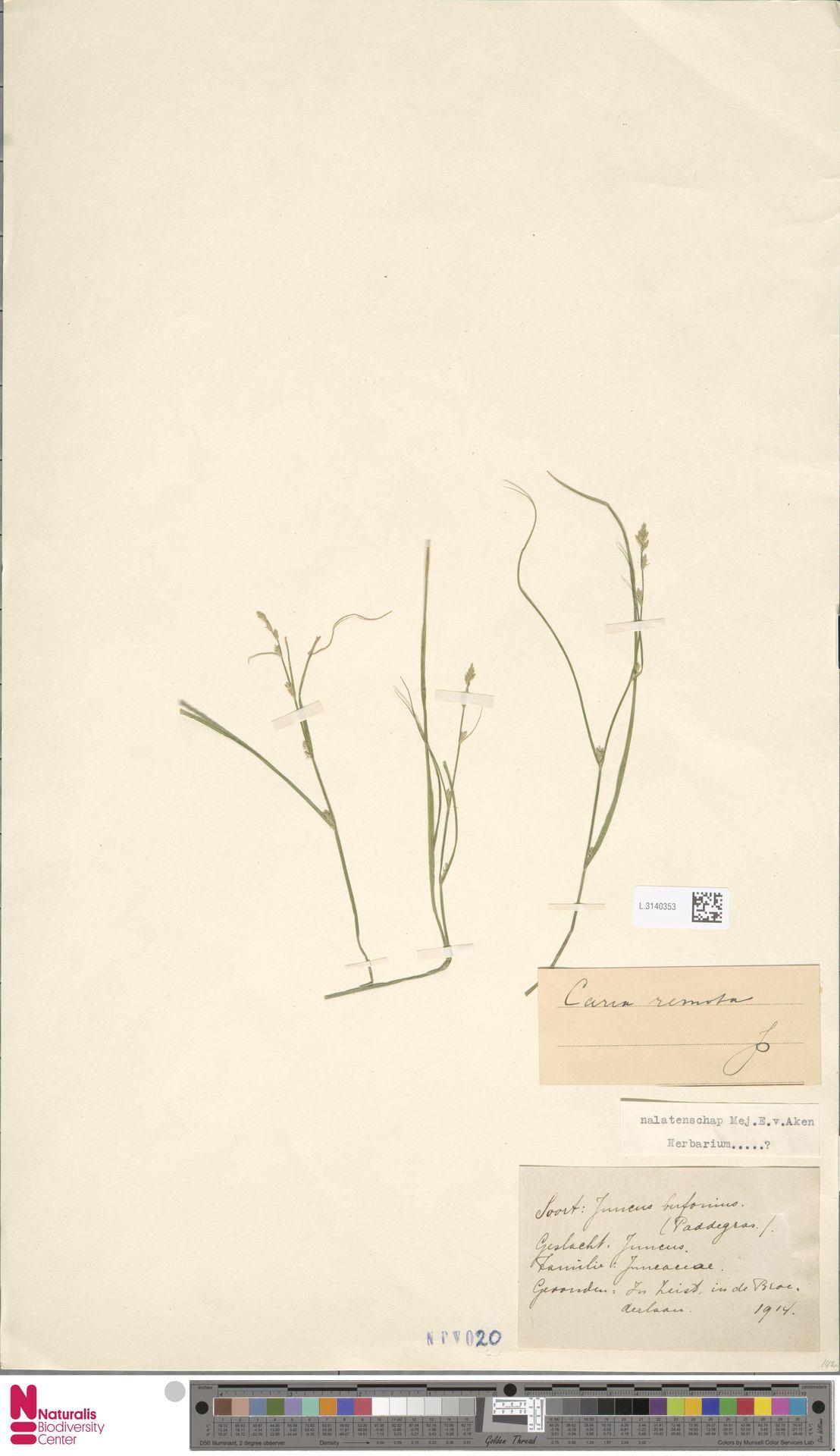 L.3140353 | Carex remota L.
