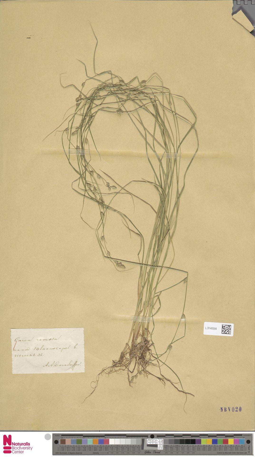 L.3140356   Carex remota L.