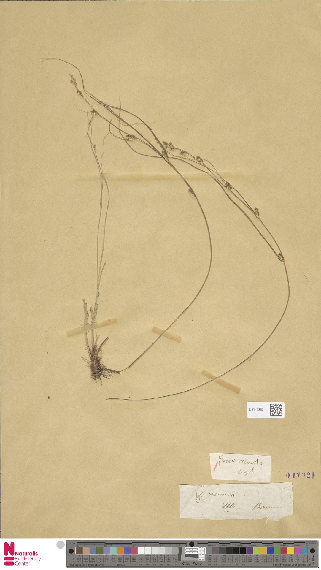L.3140357 | Carex remota L.