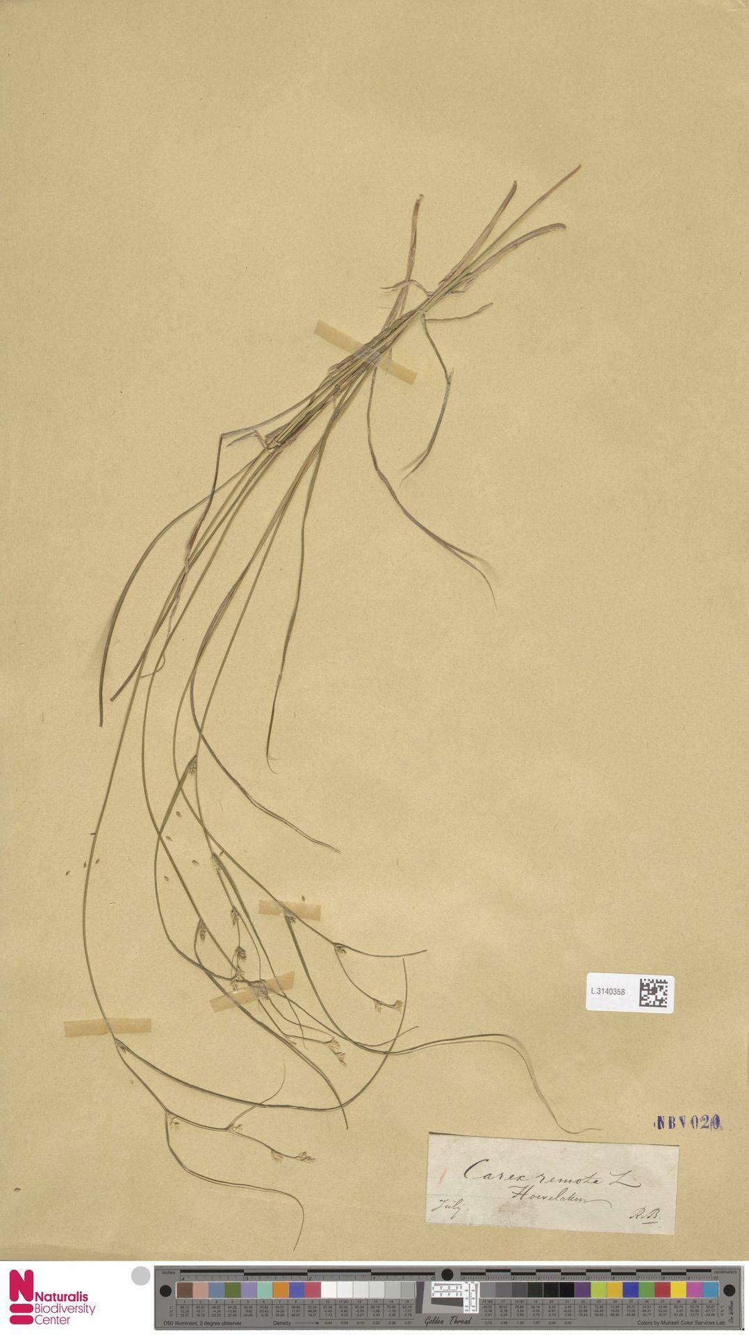 L.3140358 | Carex remota L.
