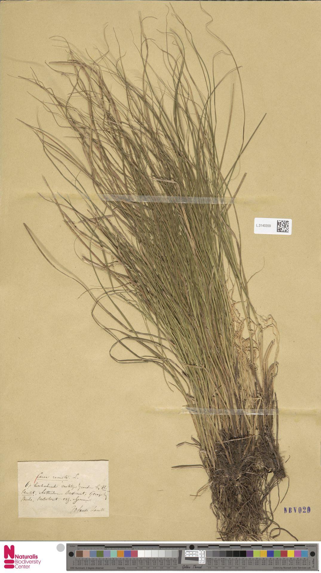 L.3140359 | Carex remota L.
