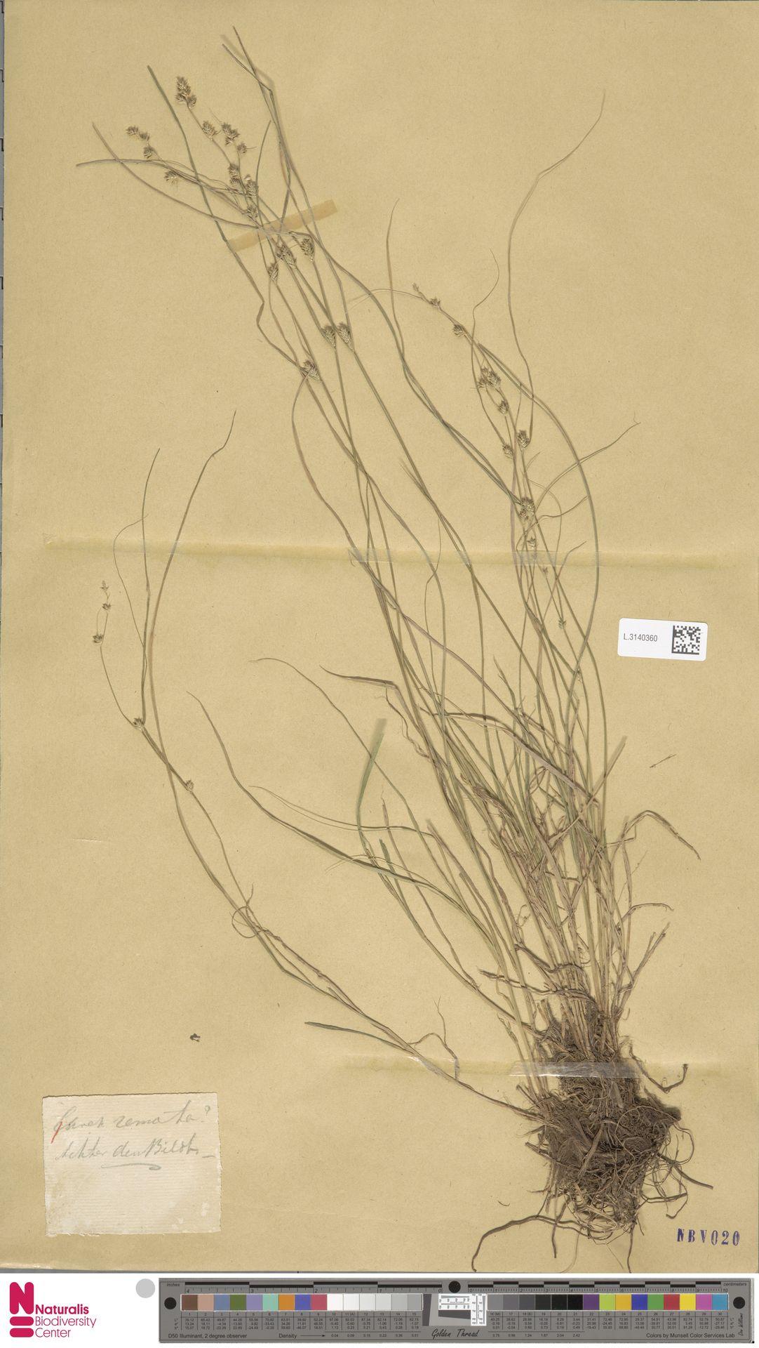 L.3140360   Carex remota L.