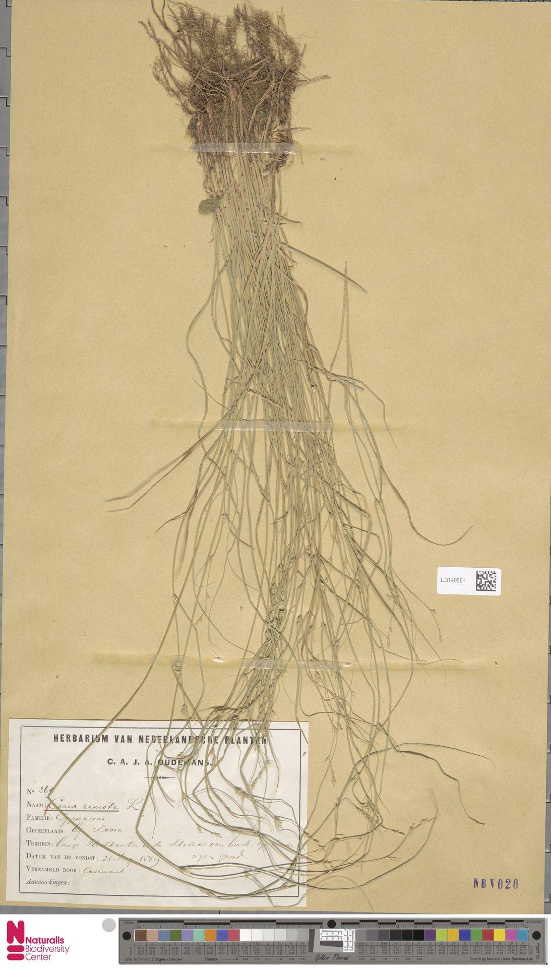 L.3140361 | Carex remota L.